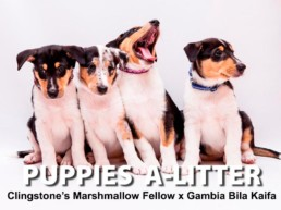 PUPPIES A-LITTER